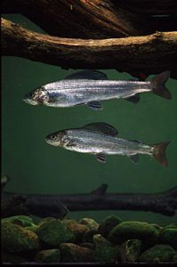 Two Arctic Grayling swimming - this could be a sight returning to Michigan if a new collaboration works as planned.