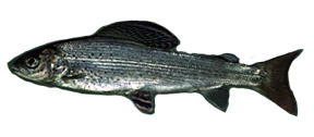 A Grayling swimming