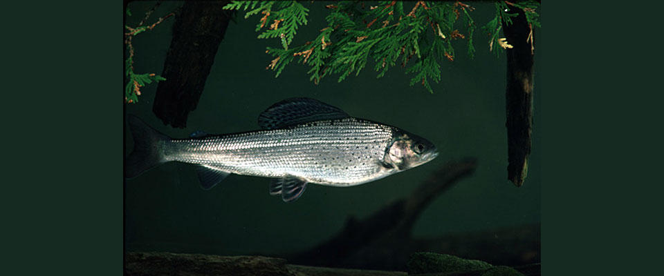 Arctic Grayling Initiative Awarded Consumers Energy Foundation Grant